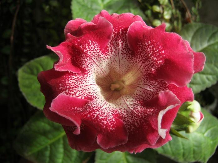 Цветок похожий на фиалку