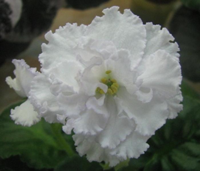 Сахарная роза фиалка
